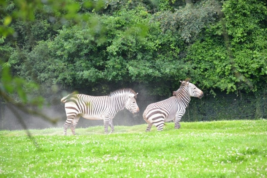 zebras marwell-wildlife-winchester-wildlife-everywhere-www.minitravellers.co.uk