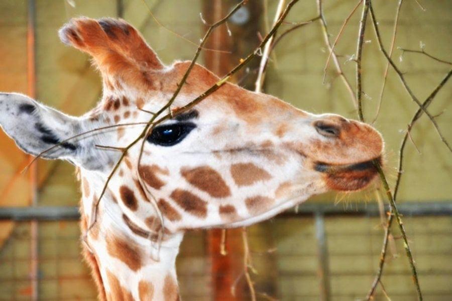 giraffe marwell-wildlife-winchester-wildlife-everywhere-www.minitravellers.co.uk
