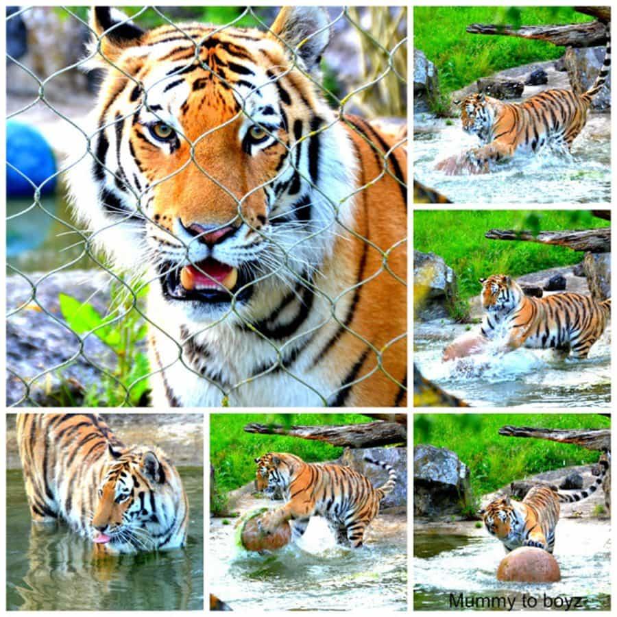 tiger marwell-wildlife-winchester-wildlife-everywhere-www.minitravellers.co.uk
