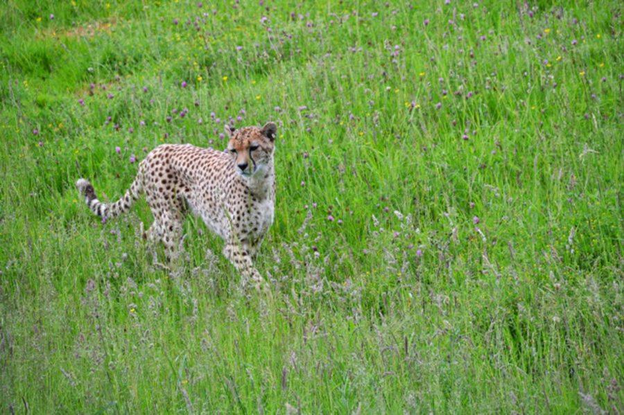 Cheetah marwell-wildlife-winchester-wildlife-everywhere- www.minitravellers.co.uk