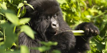 5 Reasons to Visit Rwanda with Kids www.minitravellers.co.uk