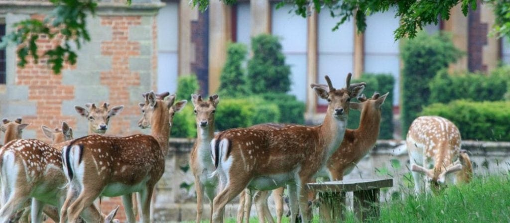 Fallow deer exploring Charlecote Park. Discover why this is a great day out for kids and families in my guide to National Trust days out for kids.