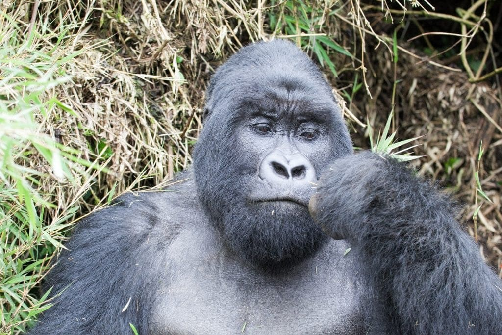 Gorilla Trekking in Rwanda and Kids!