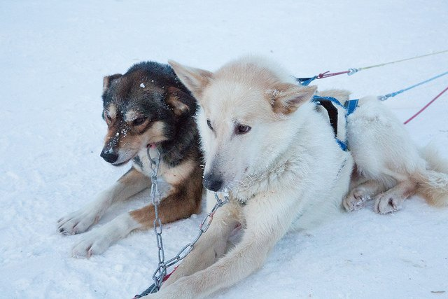 Beautiful husky dogs at Santa's Lapland