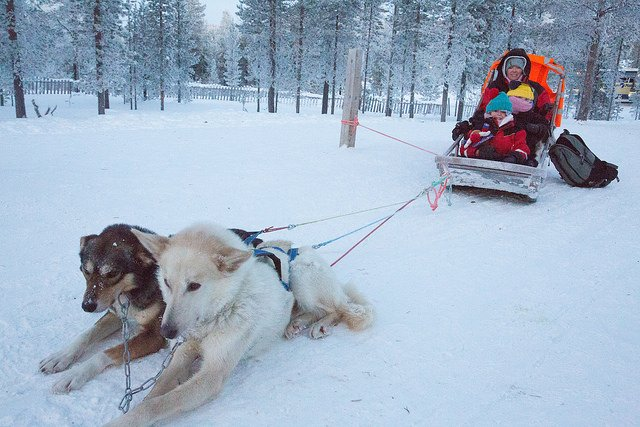 Enjoying a husky ride at Santa's Lapland as part of Search for Santa Day