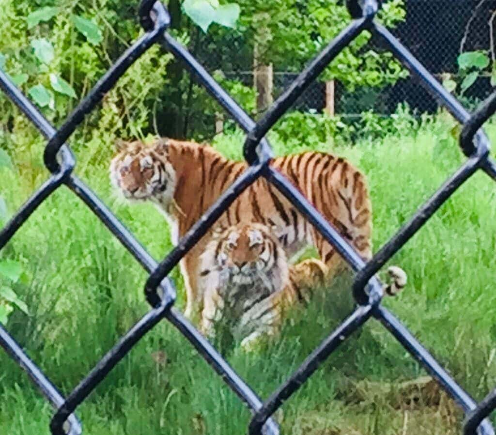 On the Tiger Trail at Knowsley Safari Park