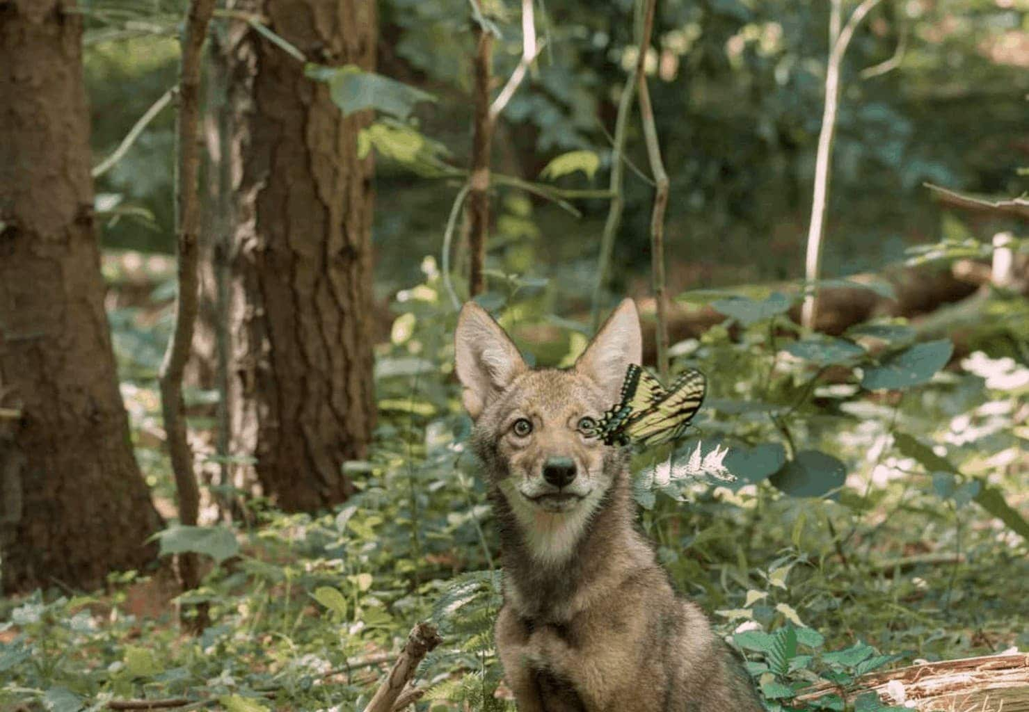 """A coyote encounters a butterfly in the IMAX documentary """"Backyard Wilderness."""" Courtesy of Amber Hawtin"""