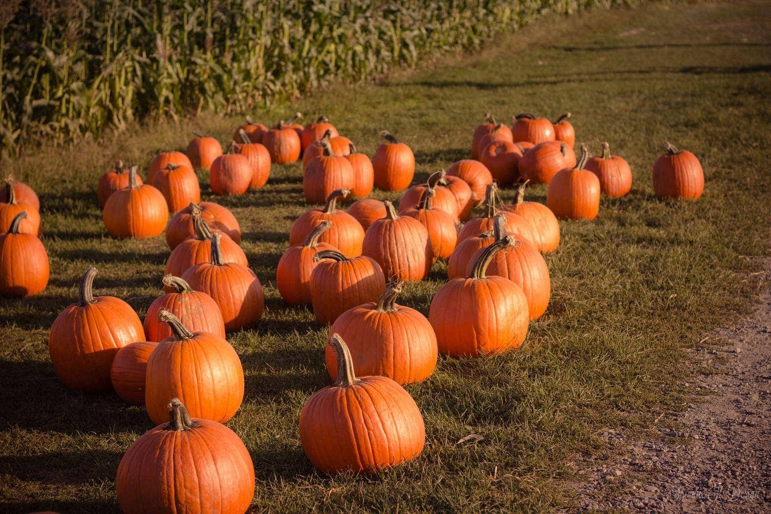 Where to go Pumpkin Picking in Yorkshire   Picking Pumpkins Near Me